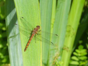 Dragonfly sunning on Flag Iris leaves