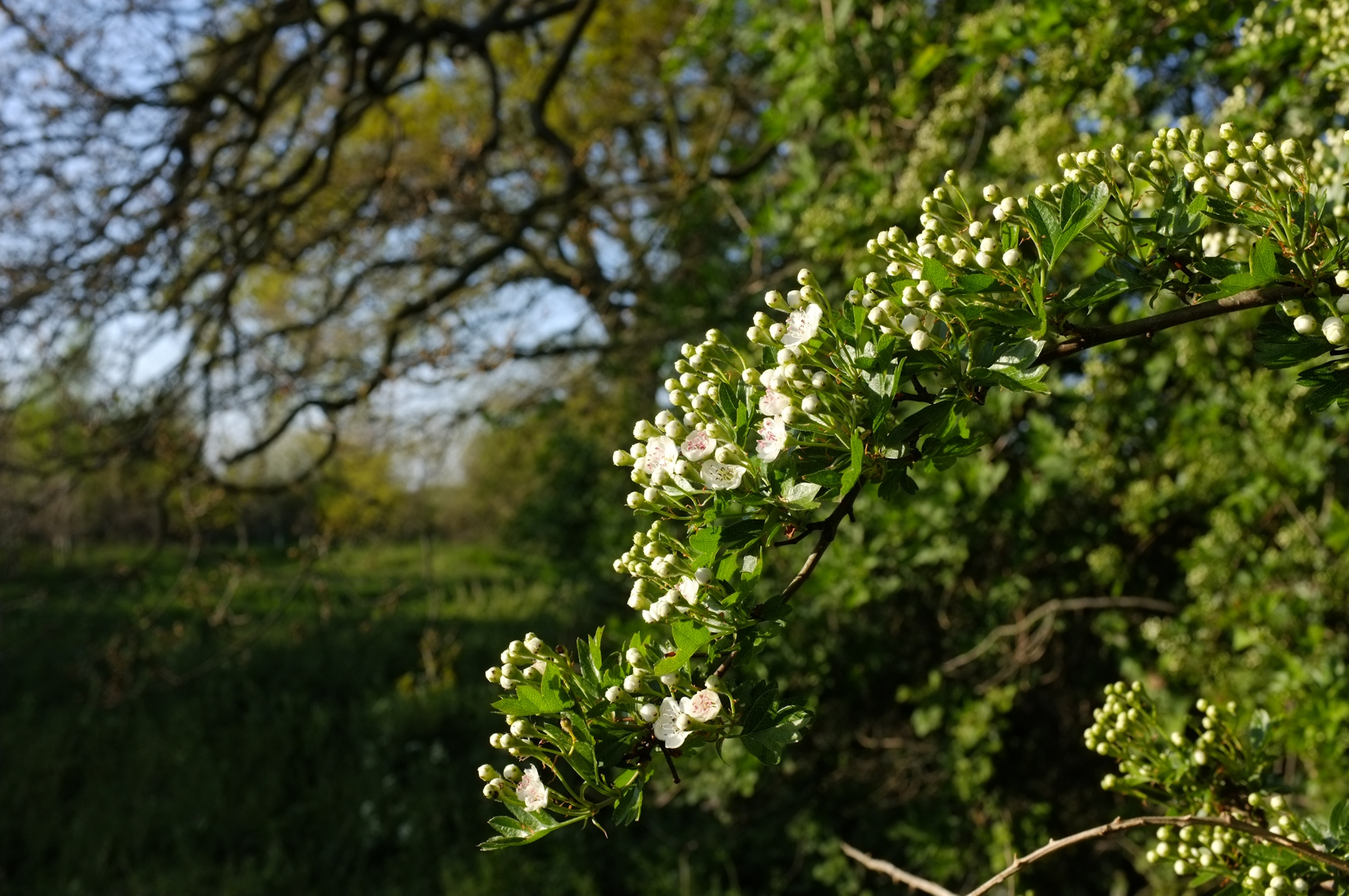 Hawthorn in bloom at Quaker Wood