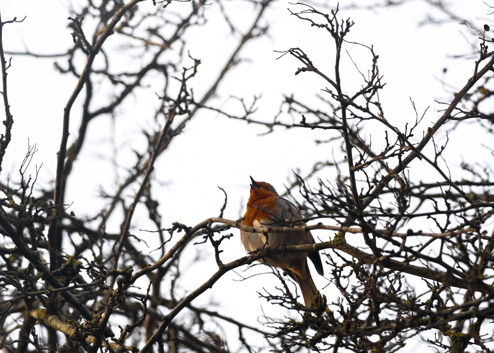 Robin singing in the leafless branches, at Quaker Wood