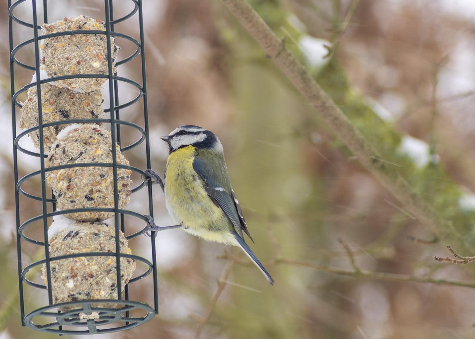 Blue tit on bird feeder at Quaker Wood in winter