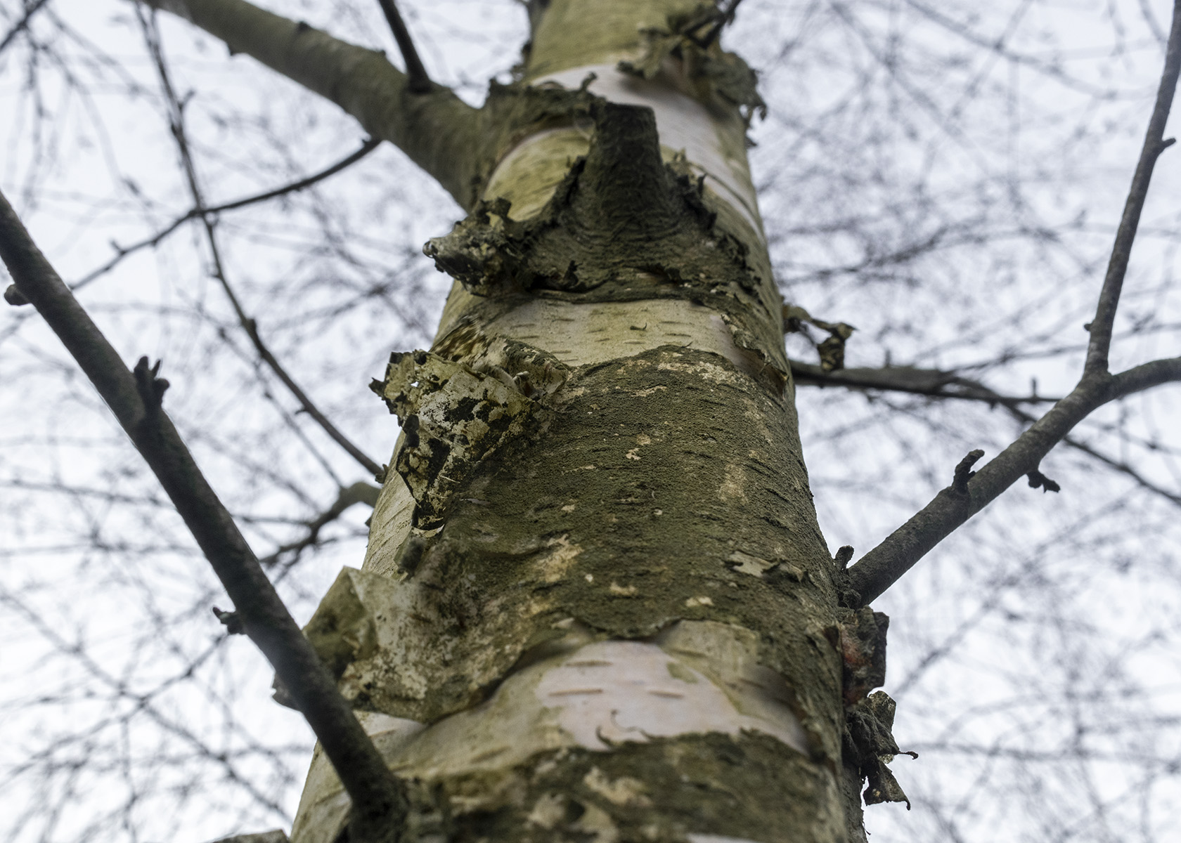 Bark peeling from a leafless Silver Birch tree at Quaker Wood